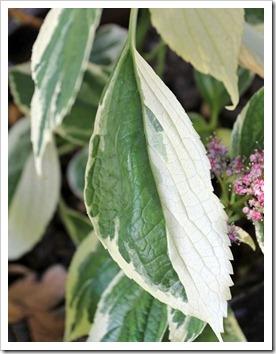 130524_Hydrangea-macrophylla-Tricolor_11