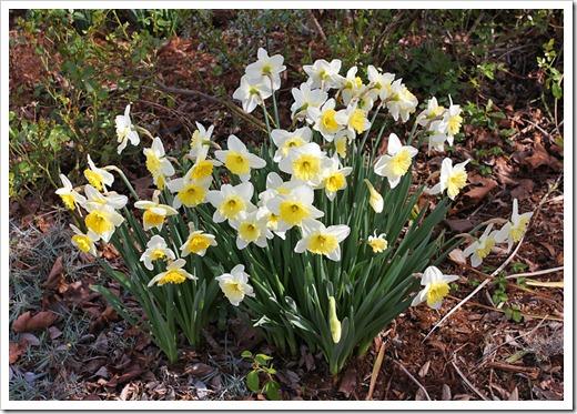 120222_daffodils1
