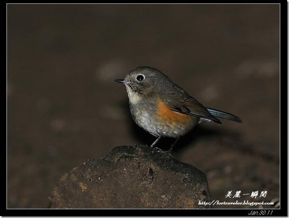 黃尾鴝(2011-01-31野柳)6110