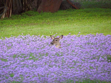 deer in wild verbena