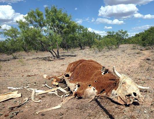 Dessicated corpse of a steer, killed by the worst drought in Texas history. wdrep.com