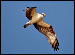 Nature - Osprey