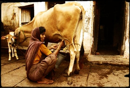 471-A-rural-women-in-Varanasi-milking-the-cow