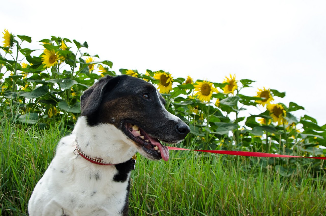 Abby in front of sunflowers