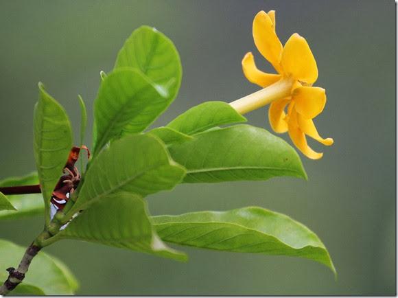 gardenia tubifera (2)