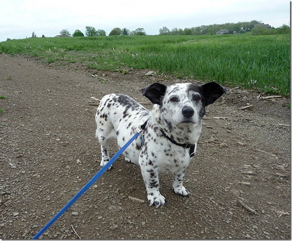 corgi_dalmation_mix_hybrid_breed
