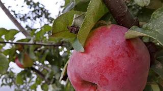 красное загорелое яблоко