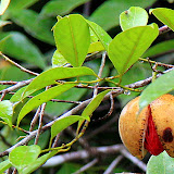 A Nutmeg Ready For Harvest - St. George's, Grenada