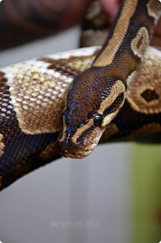 Python (17) von PB Snakes 311214