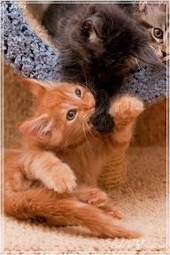 Фото история котят мейн кун в возрасте 7,5 недель 16