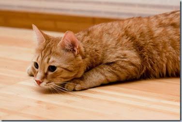 diabete gatto