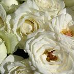 angkorsite_flower_1 (102).jpg
