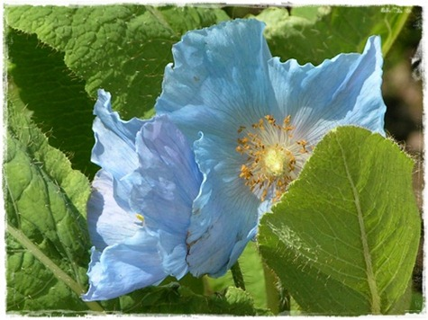 15 blå