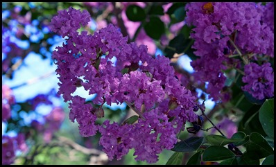 purple myrtle2