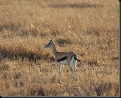 October 20, 2012 Thompson's Gazelle