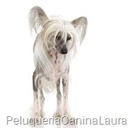 Perro-Crestado-Chino-sin-pelo-