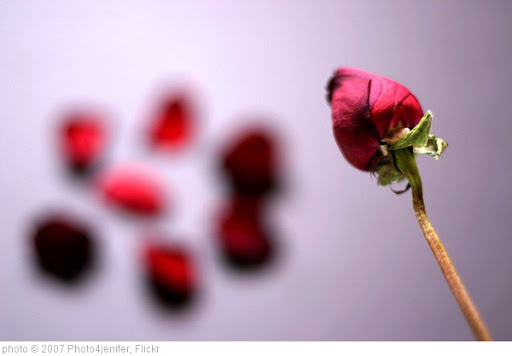 'Rose Petals.' photo (c) 2007, Photo4jenifer - license: http://creativecommons.org/licenses/by-nd/2.0/