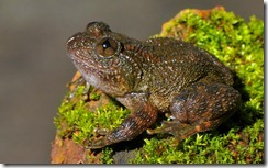 DANIEL'S NIGHT FROG- Nyctibatrachus danieli