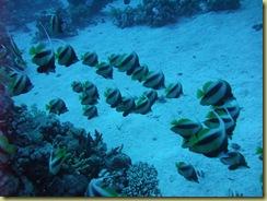 Shoal Banner Fish