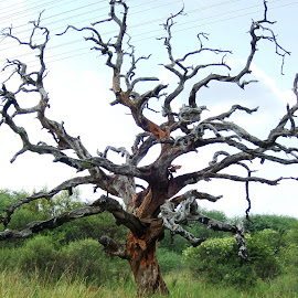 Barren Tree in the Bushveld ~ SA by Elserie Badenhorst - Nature Up Close Trees & Bushes ( barren, unique, tree, nature, dried-out,  )