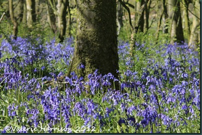 bluebells