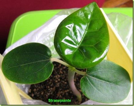 jatropha podagrica prima foglia vera