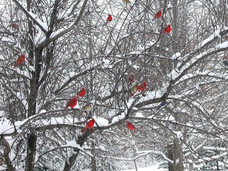 CardinalsSnow.34280508_std