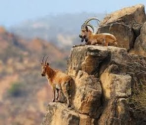 Amazing Pictures of Animals, Photo, Nature, Incredibel, Funny, Zoo, Alpine ibex, Capra ibex, Mammalia, Alex (9)
