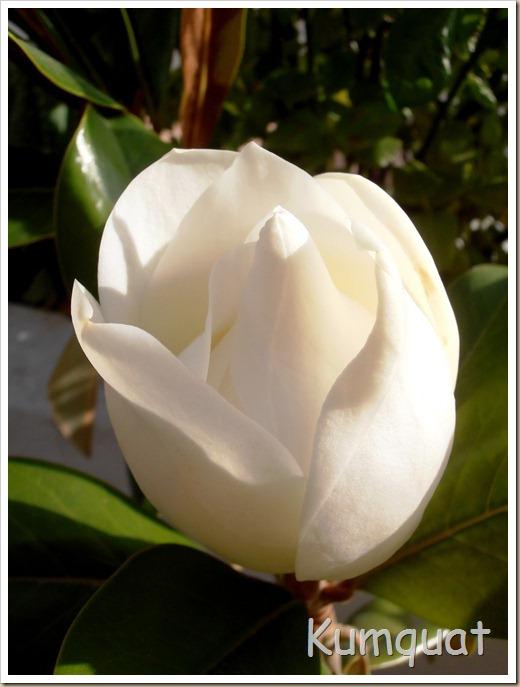 magnolio 8