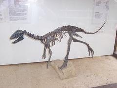 2008.09.10-016 squelette d'hypsilophodon