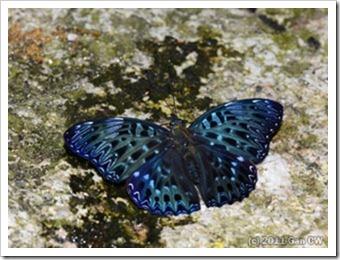 Dichorragia nesimachus deiokes_MYFH_20110808_N095