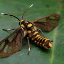 Amata Wasp Moths