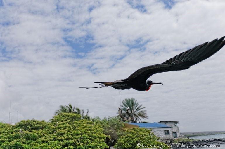 Männlicher Fregattvogel fliegt vorbei, Galapagos