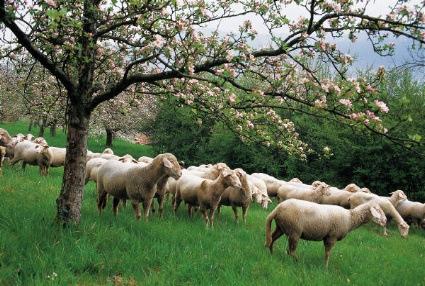 Πρόσθετες Ενισχύσεις για το αιγοπρόβειο κρέας