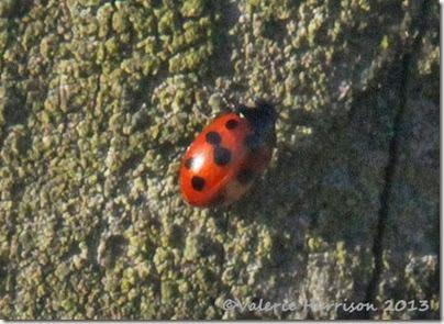2-eleven-spot-ladybird