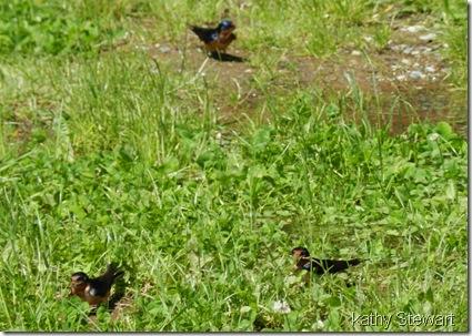 Trio of Barn Swallows