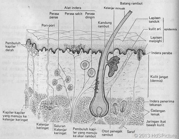 Gambar Anatomi Kulit Berbahasa Indonesia