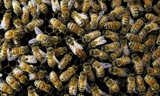 Bees collect around the queen. 'Mad bee disease' is thought to have caused the death of as many of 40% of bee colonies. Beekeepers have long felt pesticides were to blame for colony collapse disorder, but culpability was difficult to prove – until now. AP