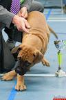 20130511-BMCN-Bullmastiff-Championship-Clubmatch-1540.jpg
