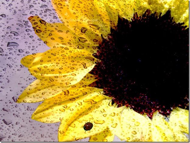 Sunflower_Vivid