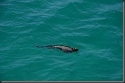 Iguana swimming
