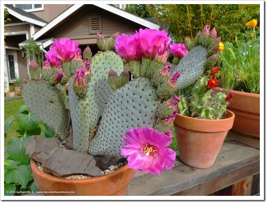 Beavertail cactus says Happy Easter!