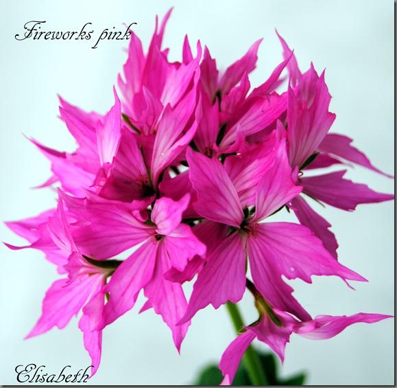 Pelargonium juni-11 063