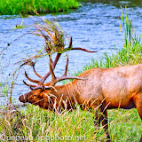 A massive bull elk takes its fall angst out on the streamside foliage on Mission Creek at the National Bison Range.