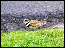 01e - birds - killdeer
