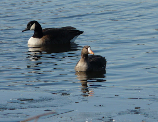 Greater White-fronted Goose at Overpeck in Leonia, 1/5/12