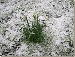 dazed daffodils