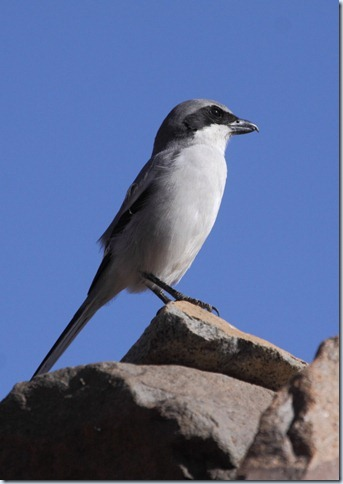 southern_grey_shrike1