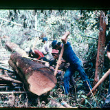 70年代の森林での伐採作業の様子 / A snapshot of the logging operation in the forest of the 70s.