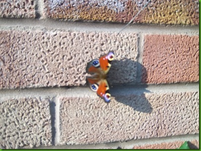003  Peacock Butterfly on wall at Lorna's